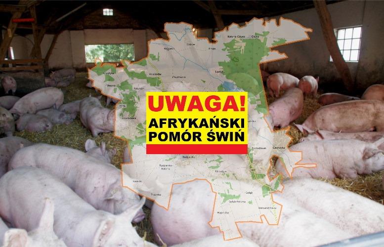 Ognisko afrykańskiego pomoru świń wykryto w gminie Michów - Zdjęcie główne