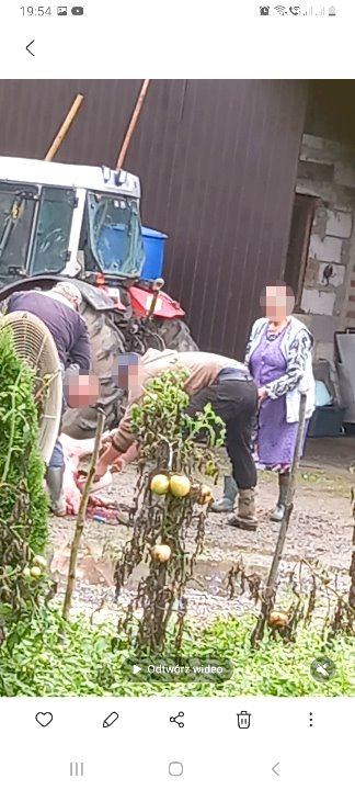 Nielegalne świniobicie na podwórku radnego. Kiełbasy i szyneczki nie będzie - Zdjęcie główne