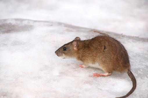 Lublin: Po mieście grasuje coraz więcej szczurów. Ratusz pomyśli nad rozwiązaniem problemu - Zdjęcie główne