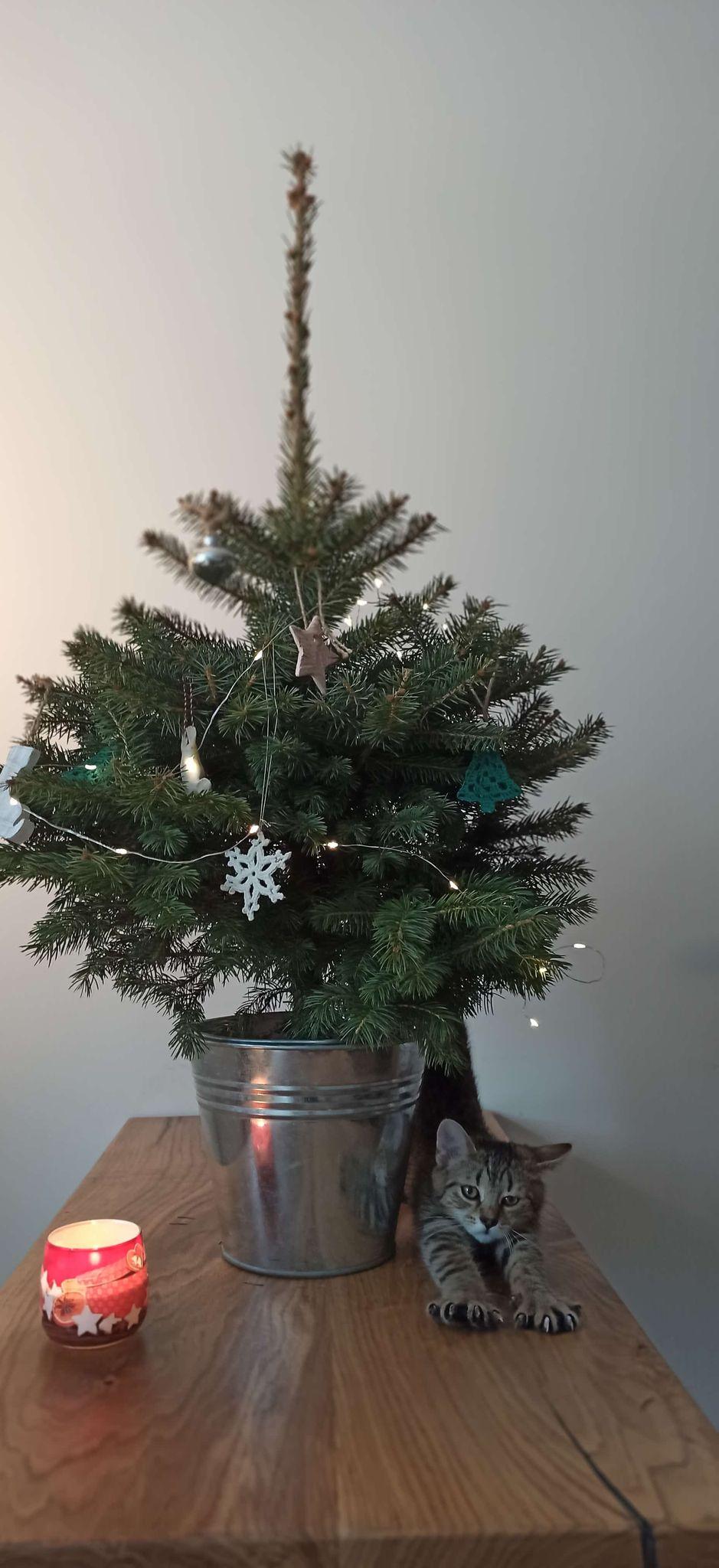 Lubelski Ratusz chce zasadzić świąteczne choinki w mieście - Zdjęcie główne