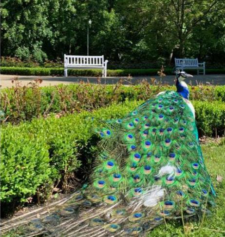 Lublin: Padł jeden paw z Ogrodu Saskiego - Zdjęcie główne