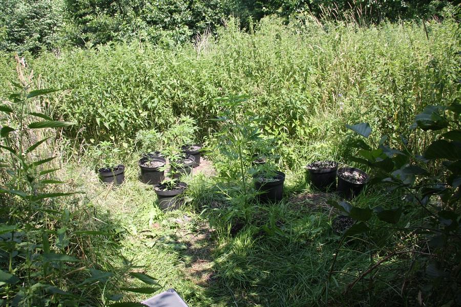 Gm. Siedlce: Uprawę konopi ukrył w pokrzywach - Zdjęcie główne