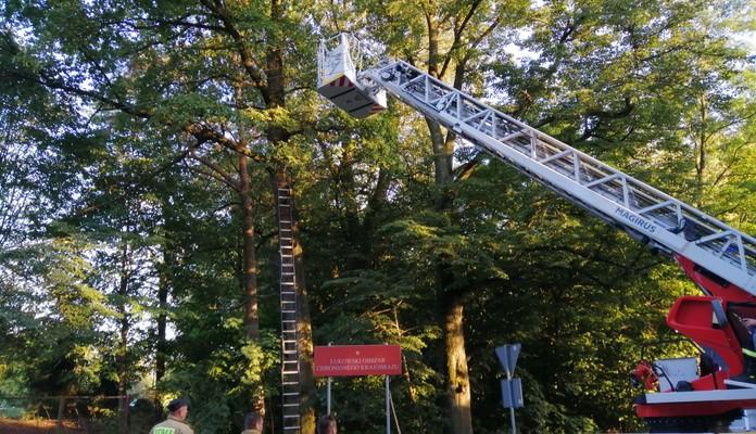 Wola Wodyńska: strażacy na drzewie - Zdjęcie główne